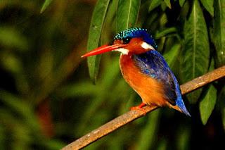 Malachite kingfisher is found in Uganda