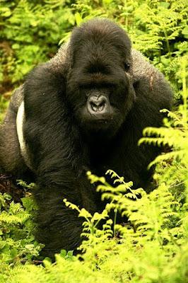 mountain gorilla found in Uganda