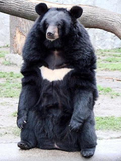 Asiatic black bear found in China
