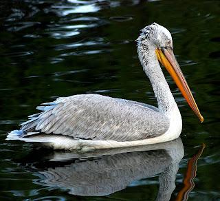 dalmatian pelican in Cyprus