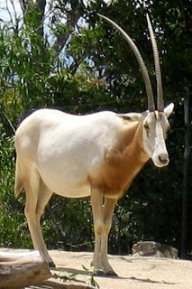 Oryx in Nigeria