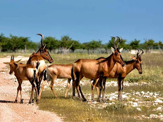 hardebeest found in Guinea