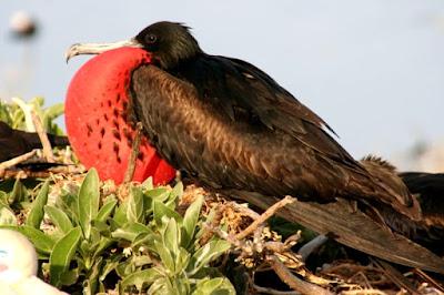 great frigate bird found in Fiji