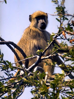 Chacma baboons are found in Lesotho