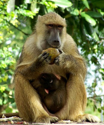 yellow baboon found in Zambia