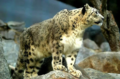 snow leopard in Kazakhstan