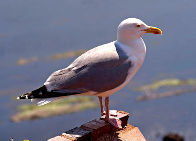 Herring gull in Turkmenistan