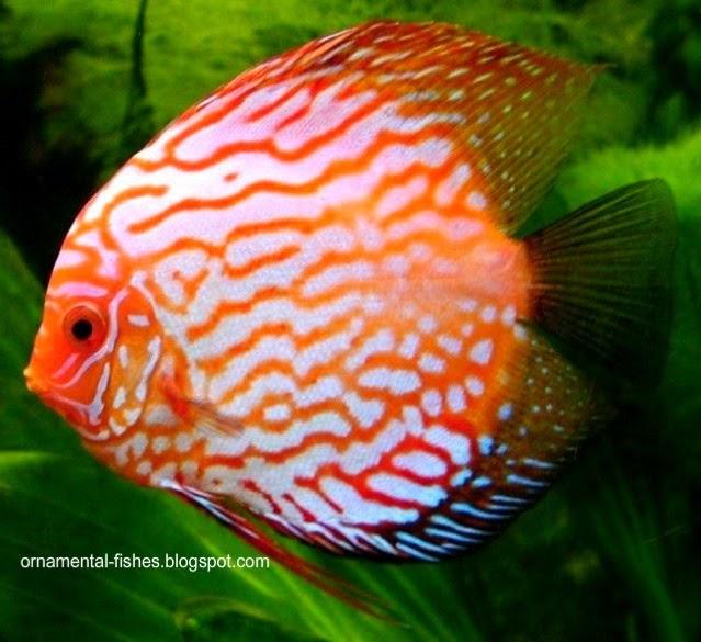 The meaning of ornamental fish ornamental aquarium fish for Ornamental fish