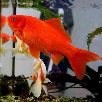 Ornamental fish cyprinids carp family cyprinidae for Ornamental fish