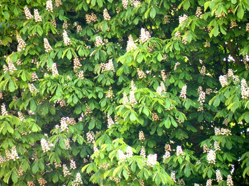 Treeaware horse chestnut trees ilford i very much prefer the conkers with white flowers rather than red the white flowers being more delicate and their leaves being more shapely than the mightylinksfo