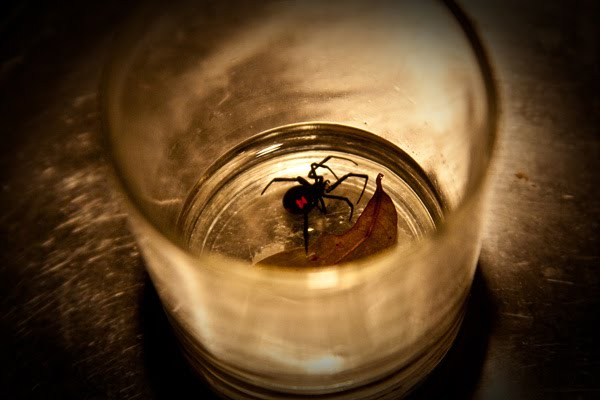 Black+shiny+spiders