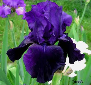 iris stériles a feuilles persistantes Tuxedo