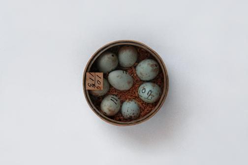 Eggs 109 - 113 (Redpath Museum)
