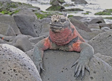 Marine Iguana, Galapagos Oct 2007