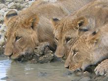 Lions, Kenya Feb 2006