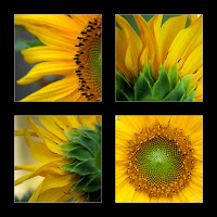 sunflower frame image