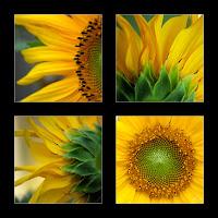 sunflower frame image