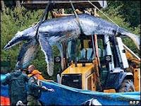 Australia Baby Humpback Whale
