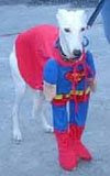 miserable lloking dog dressed as superman