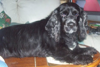 Grant Black Cocker Spaniel image photo picture