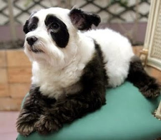 Panda Dog image photo