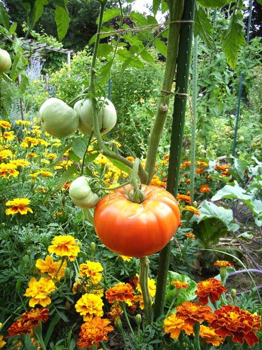 vom wachsen und werden der geschmack der freiheit tomaten auspflanzen. Black Bedroom Furniture Sets. Home Design Ideas