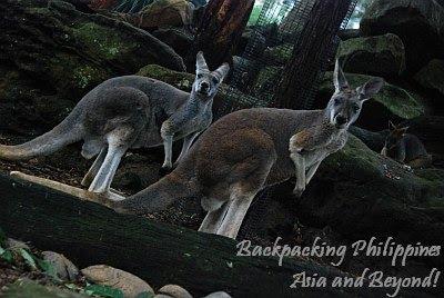 kangaroo taronga zoo
