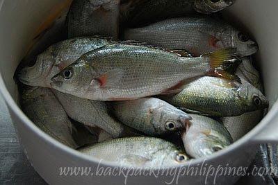 ayungin silver perch Leiopotherapon plumbeus