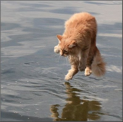 cat walking on the water