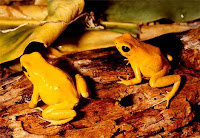 Poison Dart Frogs (Phyllobates)