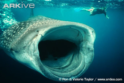 Whale Shark - Biggest fish in the world