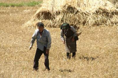 Image of old Tibetan couple gleaning cereal from between their shooks
