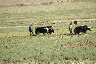 Image of an two Tibetan men ploughing a field. One has a team of two yaks, one has a team of two oxen.  Their plough is merely a vertical shaft of word that they wrestle through the grounds to keep a straight furrow as their animals pull.
