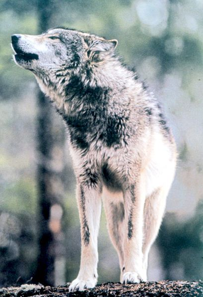 Frozen IcePack Wolves ~ A wolf RP 409px-Gray_Wolf_in_Grand_Teton_NP-NPS