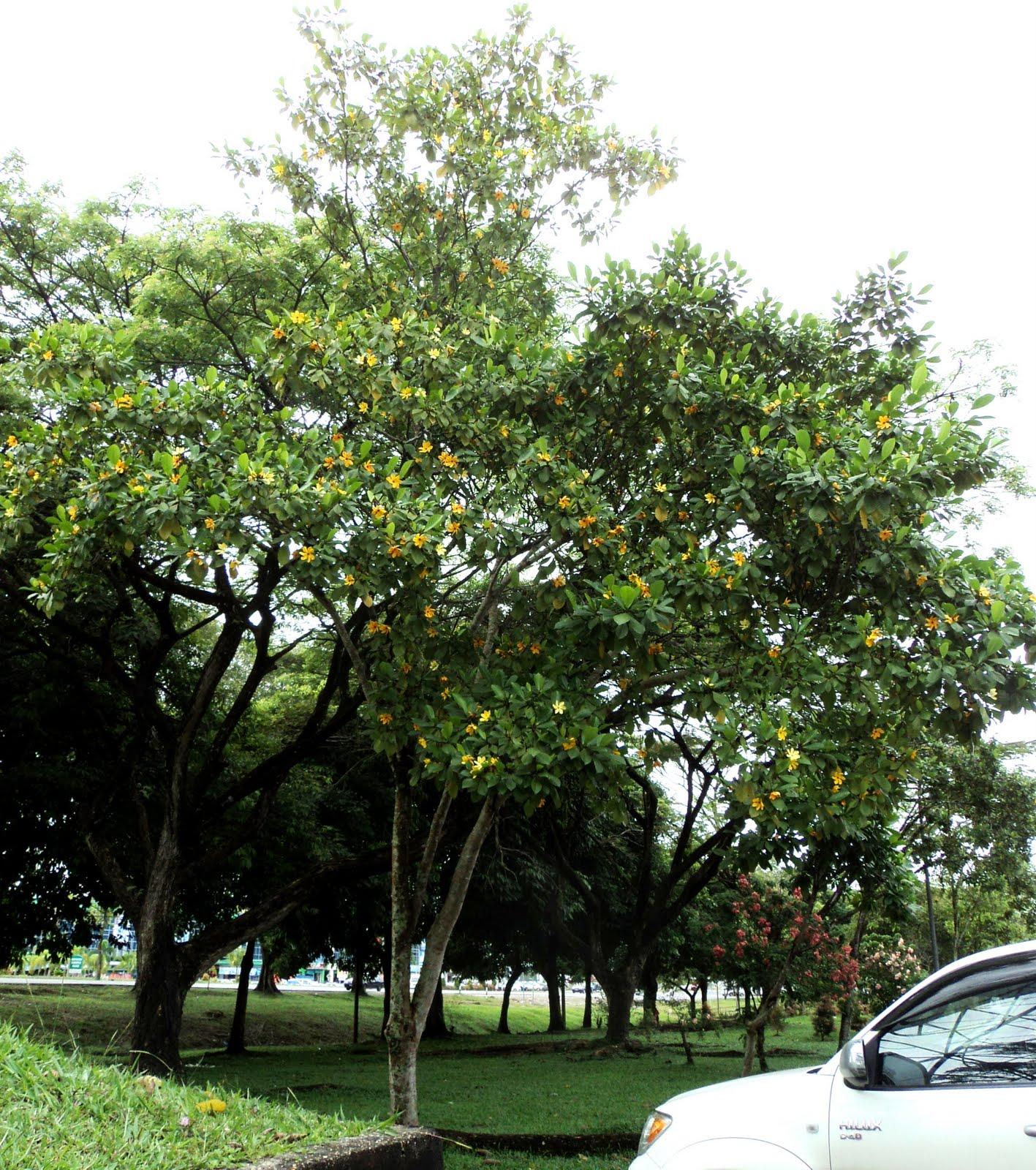 mature Kedah Gardenia tree at Medan Jaya shopping area, alongside ...