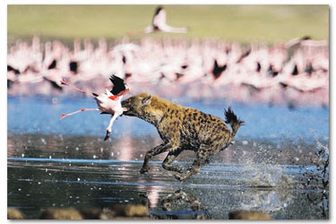 http://4.bp.blogspot.com/_wGCq5-udNl8/Si2v53s1euI/AAAAAAAAEGQ/KoqUyHn-x14/s400/seekor+dubuk+membaham+burung+flamingo.jpg