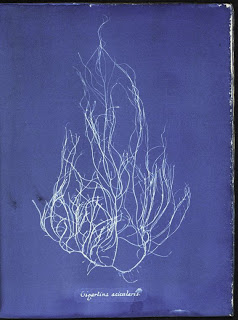 Ocean Flowers: Anna Atkins's Cyanotypes of British Algae