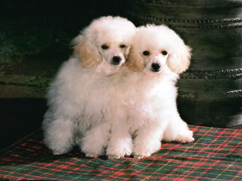 free wallpaper of puppies. Cute Puppy Wallpapers