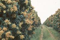 Plantacion de Mango