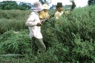 Forraje Alfalfa Brasilena