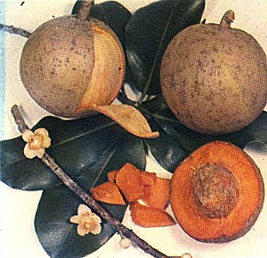 Cultivo del Mamey