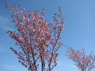 Pinkit puut 1