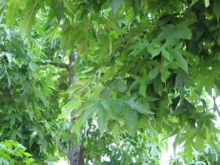 Vaahteran näköinen puu