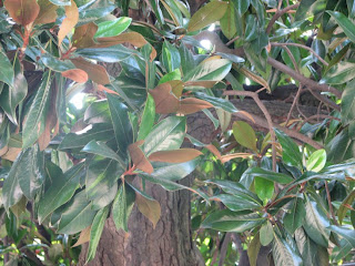 Nahkealehtinen puu