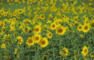 auringonkukkapelto 2