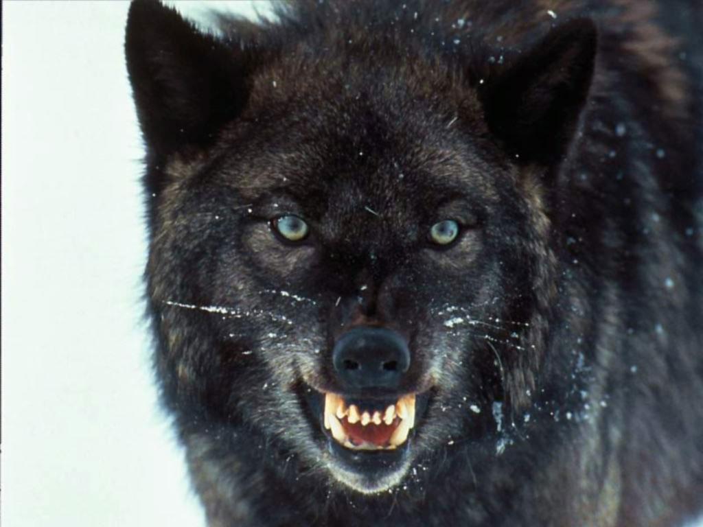 foto serigala hitam