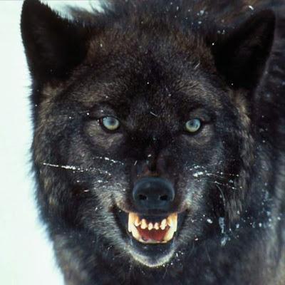 Koleksi Gambar Serigala