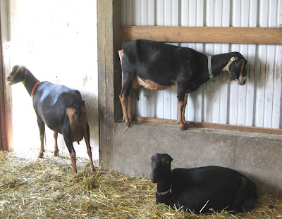 Gothberg Farms - LaMancha Goats