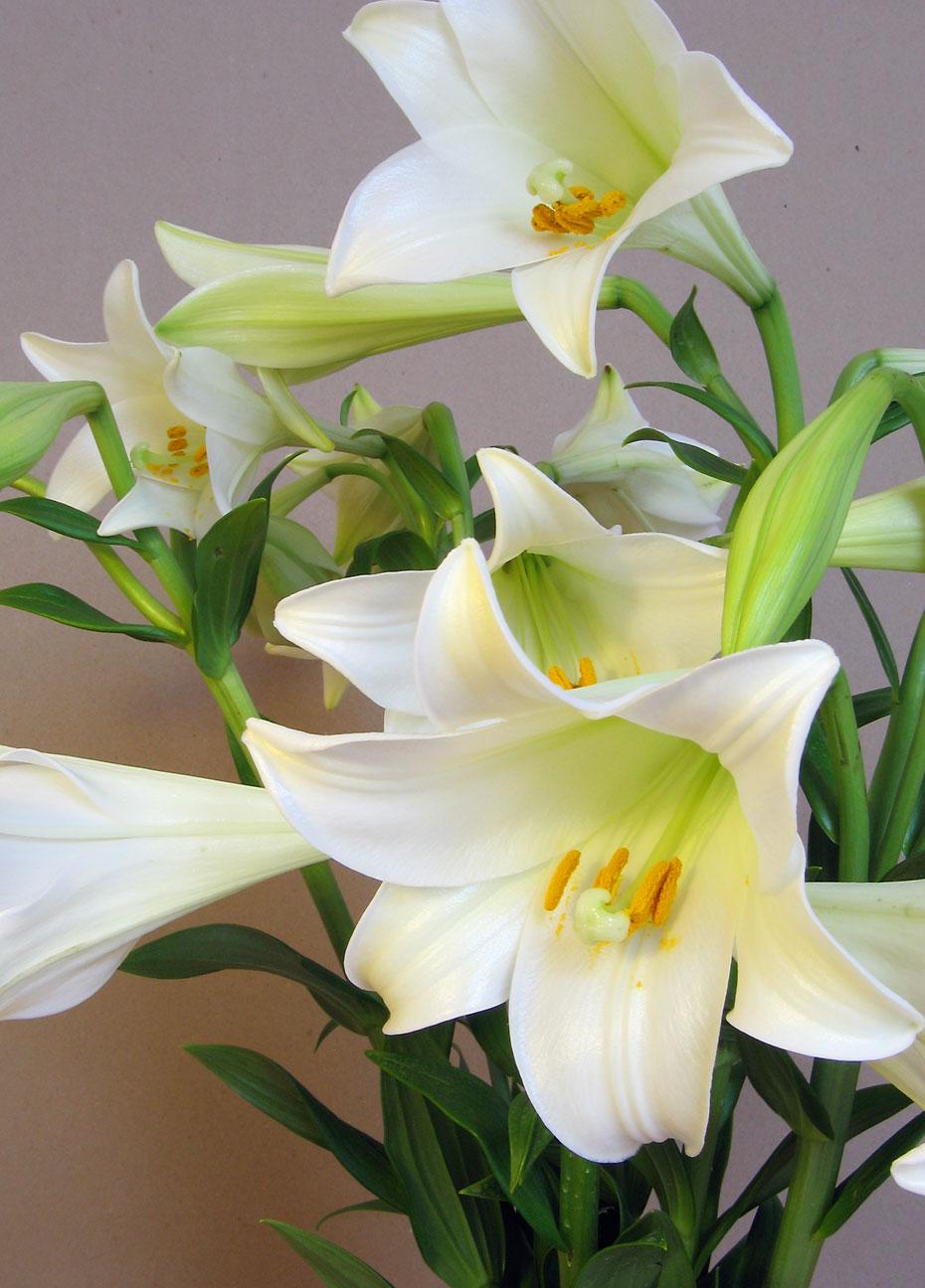 Crinul – Floarea de Paşte