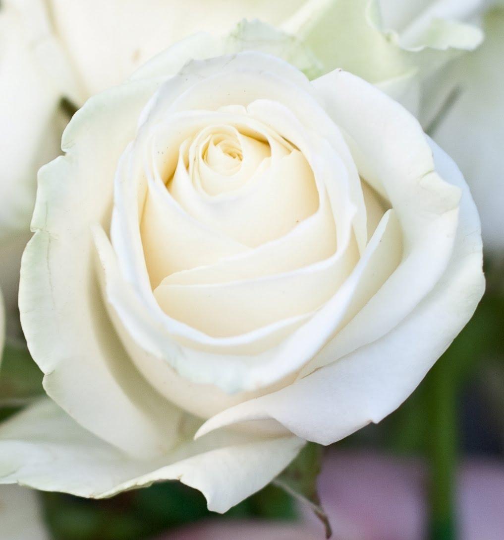 One White Rose Rose Wallpaper Hd Tumb...